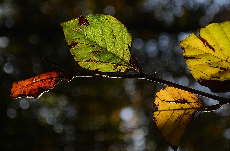Beech leafs in autumn colors, Skitterphoto, CC0 1.0